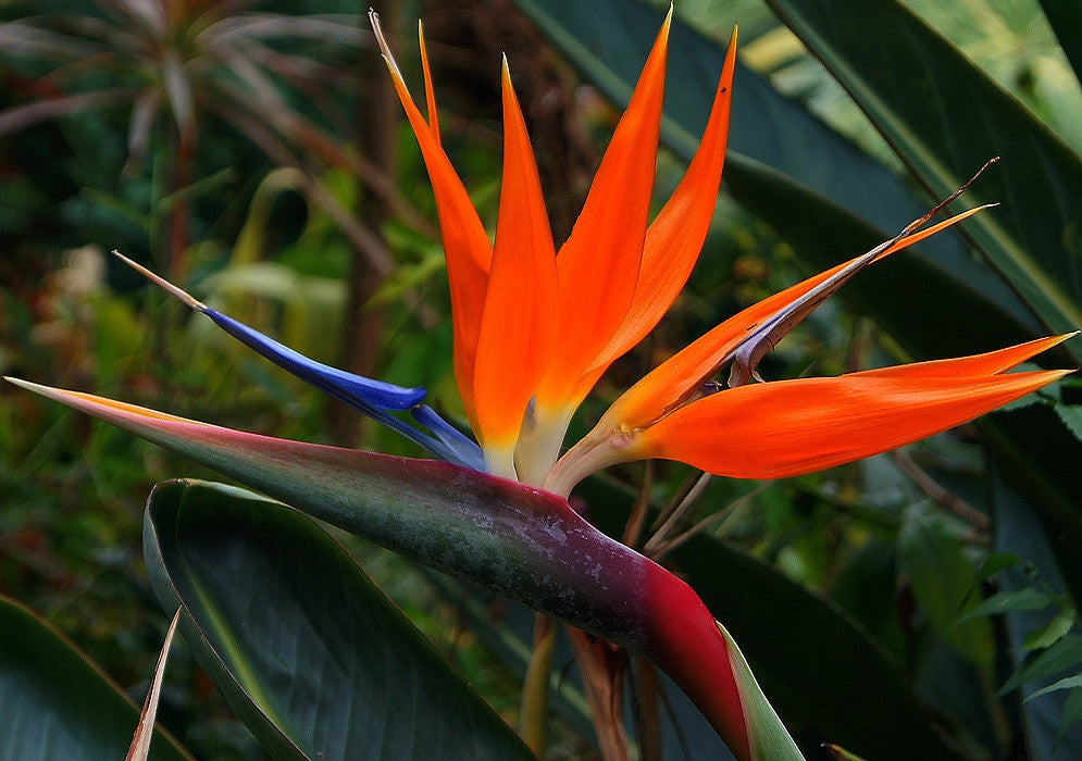 Corporate Gifting Seeds - Bird of Paradise - Strelitzia Reginae - Indigenous South African Shrub