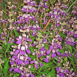 Chinese Houses - Collinsia heterophylla - Annual Flower - 50 Seeds