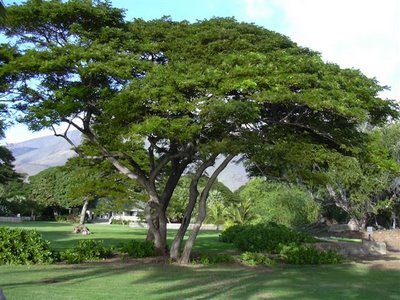 Rain Tree / Monkeypod - Albizia saman - Exotic Bonsai Tree / Shrub - 5 Seeds