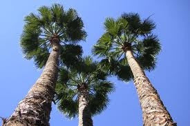 Mexican Fan Palm - Washingtonia Robusta - Exotic Palm - 10 Seeds