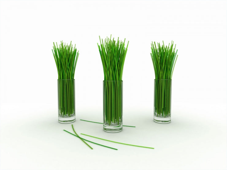 Lemon Grass - Lemongrass - East Indian - Cymbopogon Ciatrus - Herb Seeds