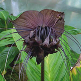Black Bat Flower - Tacca Chantrieri - Exotic Chinese Bulb Seeds - Devil Flower