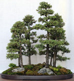 White Spruce - Picea Glauca -  Exotic Bonsai Tree - 10 Seeds