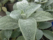Stachys byzantina - Lambs Ears - Perennial Herb / Flower - 40 Seeds