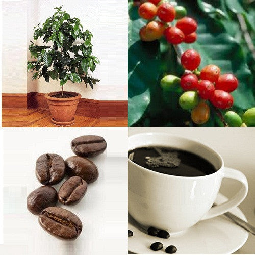 *** Grow your own Coffee Beans *** Dwarf Coffee - Coffea Arabica Nana - Evergreen Tree - Seeds