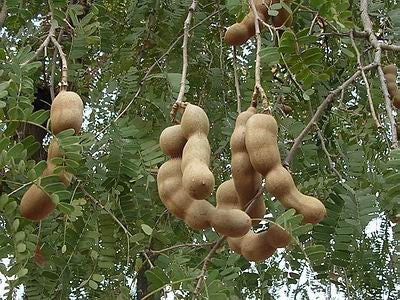 Tamarind  Tamarindus Indica - Fruit Tree - Edible Fruit / Bonsai - 5 Seeds