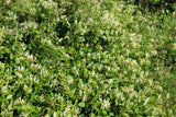 Japanese Honeysuckle - Lonicera japonica - Ground Cover - Creeping Vine - 5 Seeds