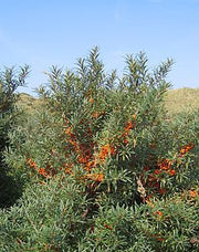 Sea Buckthorn - Hippophae Rhamnoides - Bonsai / Exotic Tree - 10 Seeds