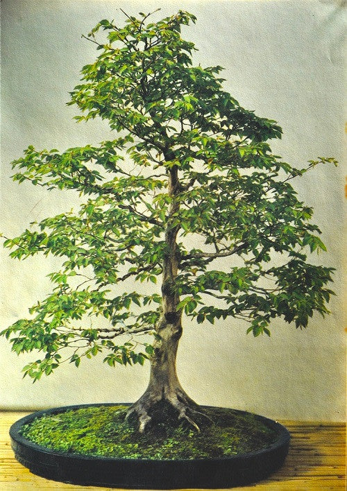 Common / European Hornbeam - Bonsai - Carpinus betulus - 10 Seeds