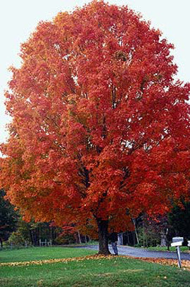 Sugar Maple Tree - Acer saccharum - Exotic Deciduous Tree / Bonsai Tree - 5 Seeds