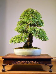 American Elm - Bonsai Tree - Ulmus Americana - 10 Seeds