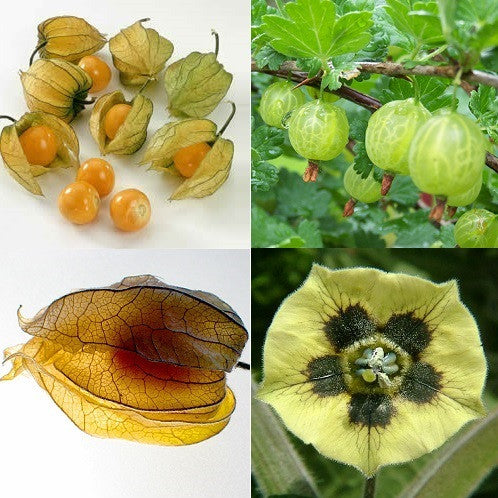 Cape Gooseberry - Bulk Fruit / Berry Seeds - 1 000 Seeds