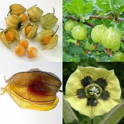 Cape Gooseberry - Physalis Peruviana - Fruit / Berry / Berries - Seeds