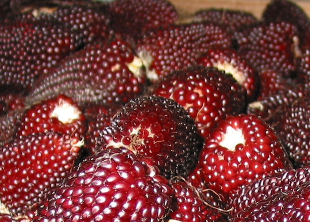 Strawberry Popcorn - Heirloom Vegetable - 10 Seeds