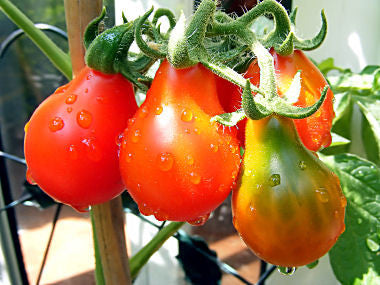 Red Pear Tomato - Solanum lycopersicon - Heirloom Cherry Tomato - 10 Seeds