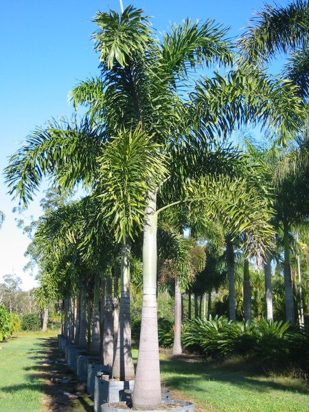 Foxtail Palm - Wodyetia bifurcata - Exotic Palm - 5 Seeds