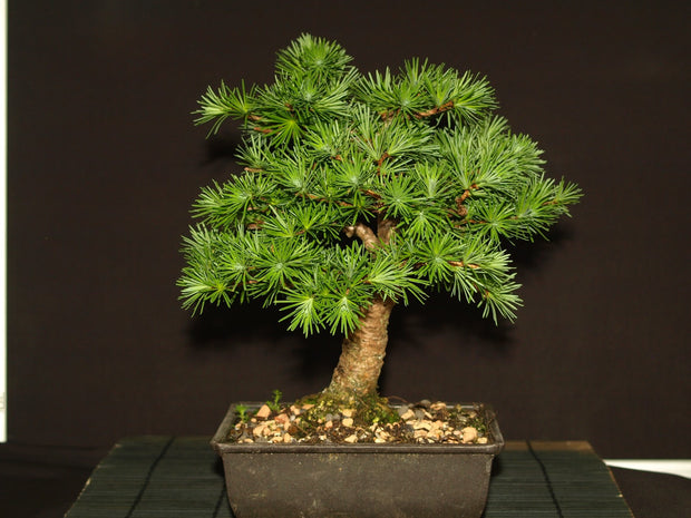 Japanese Larch - Larix kaempferi - Blue Rabbit Larch - Exotic Tree / Bonsai Tree - 5 Seeds