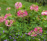 Rose Queen Cleome - Cleome hassleriana - Annual Flower - 100 Seeds
