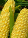 Golden Bantam Sweetcorn - Heirloom Vegetable - 10 Seeds