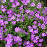 Nierembergia hippomanica - Purple Robe Cup Flower - Annual Flower - 100 Seeds