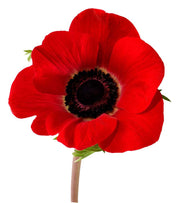 "American Legion Poppy - Papaver Rhoeas ""American Legion"" - Annual Flower - 500 Seeds"