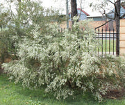 Electric White Kunzea - Kunzea ambigua - Shrub / Bonsai Tree - 20 Seeds