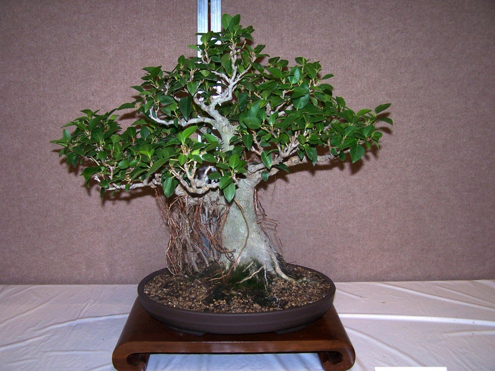 Small Leaved Fig - Ficus Obliqua - Deciduous Tree / Bonsai - 20 Seeds