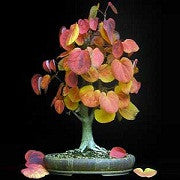 Japanese Katsura - Cercidiphyllum japonicum - Exotic Bonsai Tree - 10 Seeds