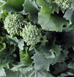 Rapini Zamboni Broccoli - Heirloom Vegetable - Brassica oleracea - 30 Seeds