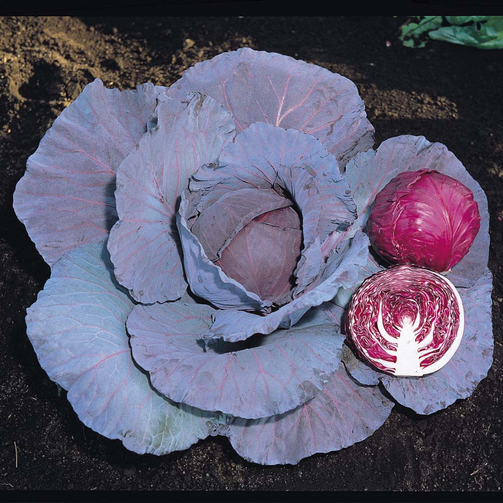 Red Jewel Cabbage - F1 Hybrid - Brassica oleracea - 20 Seeds