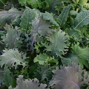 Kale Storm Salad Leaf Mix - Vegetable - 5 Seed Pellets - Simply Salad - Multi Seed Pellets - The Patio Vegetable Collection