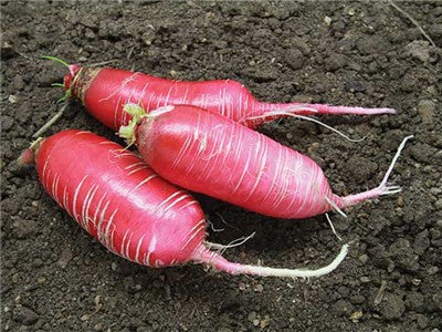 China Rose Radish - Raphanus sativus - 100 Seeds - ORGANIC