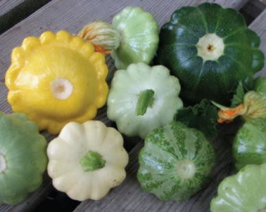 Mixed Patty Pan - Scalloped Squash - Cucurbita Pepo - Hybrid Vegetable - 10 Seeds