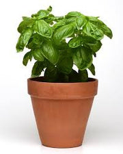 Dolce Fresca Italian Basil - Culinary Herb - 50 Seeds