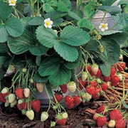 Fresca F1 Strawberry - Bulk Fruit / Berry Seeds - 100 Seeds