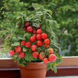 Sweet n Neat Scarlet Tomato - Container Cherry Tomatoes - Lycopersicon Esculentum - 5 Seeds