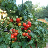 Totem Red Tomato - Container Cherry Tomatoes - Lycopersicon Esculentum - 5 Seeds