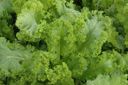 Greenwave Mustard Greens - ORGANIC - Heirloom Vegetable - 100 Seeds