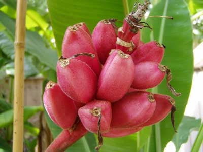 Musa Velutina - Pink Banana - Ornamental Fruit - 5 Seeds