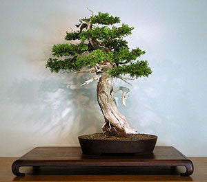 Cedar of Goa - Mexican White Cedar - Cupressus lusitanica - Exotic Tree / Bonsai - 5 Seeds