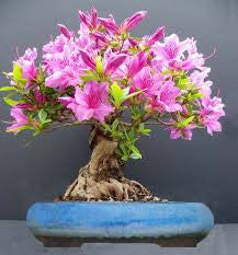 Royal Azalea - Rhododendron schlippenbachii - Tree / Bonsai - 10 Seeds