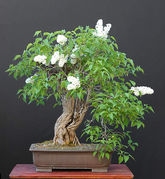 Fragrant French Lilac - Bonsai Tree - 10 Seeds - Syringa Vulgaris