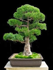 Japanese Red Cedar - Cryptomeria Japonica - Bonsai Tree - Seeds
