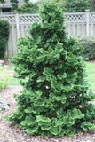 Hinoki Cypress - Chamaecyparis obtusa - Bonsai / Tree - 10 Seeds