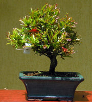 Dwarf Pomegranate - Punica granatum ssp. nana - Bonsai / Tree / Fruit - 5 Seeds
