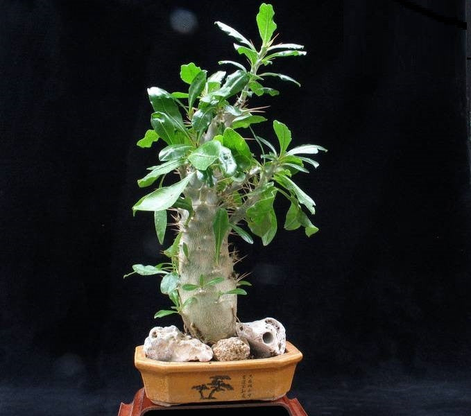 Pachypodium Saundersii - Madagascan Palm - African Succulent - 5 Seeds