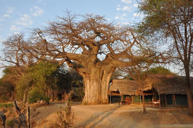 Wedding Favour Seeds - African Baobab Tree - Adansonia Digitata - Indigenous South African Tree