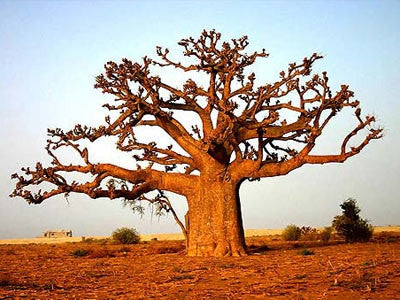 African Baobab - Adansonia Digitata - Indigenous Tree / Bonsai - Seeds