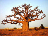 Corporate Gifting Seeds - African Baobab Tree - Adansonia Digitata - Indigenous South African Tree