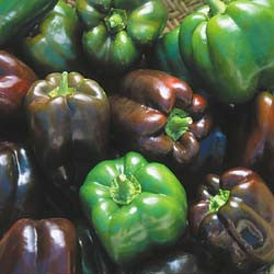 Chocolate Beauty Sweet Bell Pepper - Capsicum Annuum - Seeds